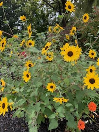 Suncredible Sunflower